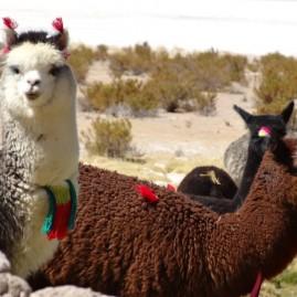 Parque Nacional Salar del Huasco & Oasis de Pica