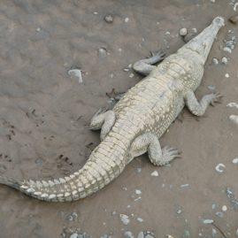 Avistamiento de cocodrilos – Puente sobre el Río Tárcoles