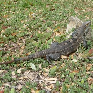 Iguana - Refugio Nacional de Vida Silvestre Bahía Junquillal