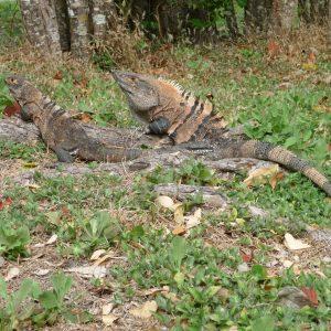 Iguanas - Refugio Nacional de Vida Silvestre Bahía Junquillal