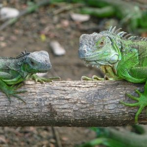 Iguanas verdes