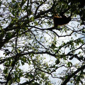 Mono araña (Ateles)