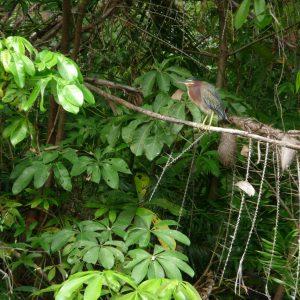 Observación de aves en las Isletas de Granada - Lago Nicaragua