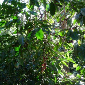Cafetos - plantación de café