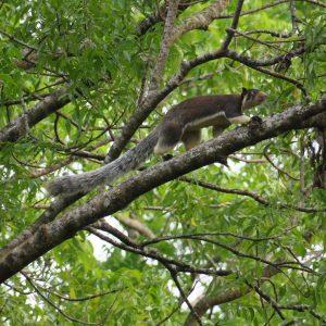 Écureuil géant de Ceylan