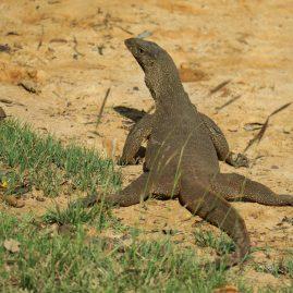 Lunugamvehera National Park – Safari