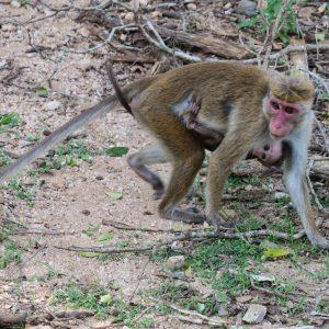 Macaques à toque