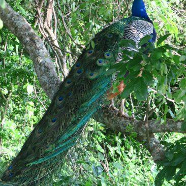 Yala National Park – Safari