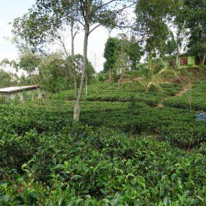 Ella Rock - Plantation de thé