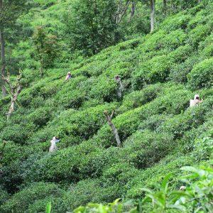 Little Adam's Peak - Plantation de thé
